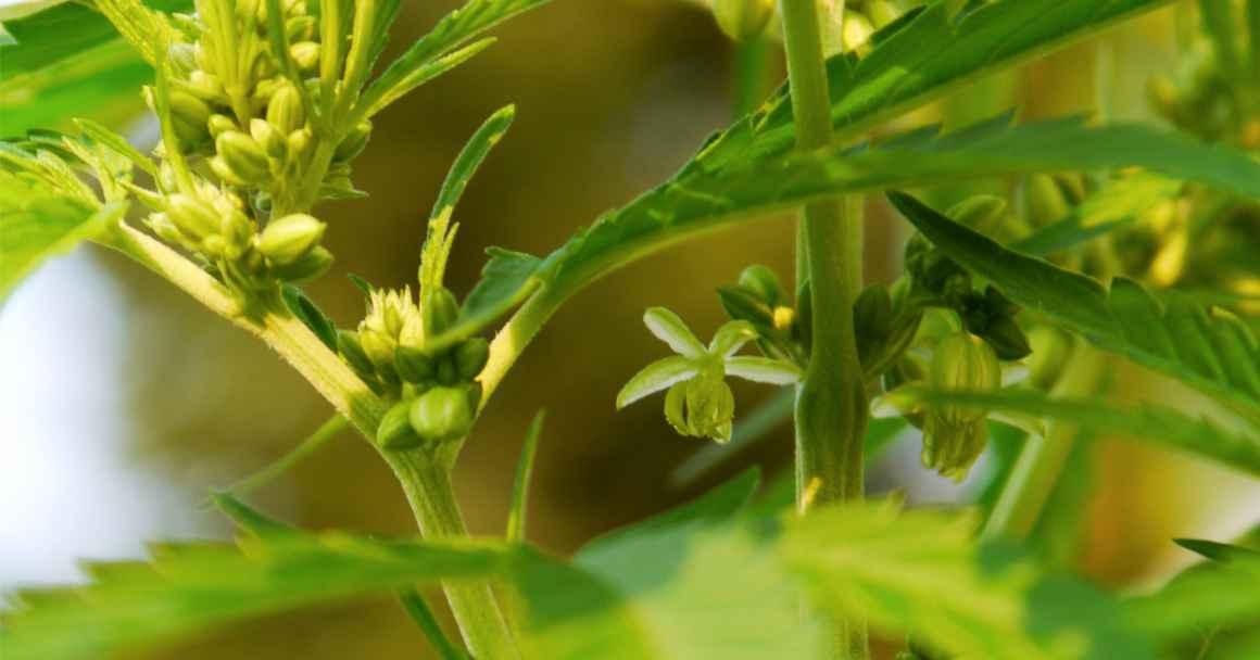 A marijuana plant